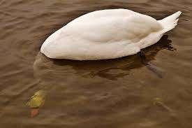 Swan Underwater